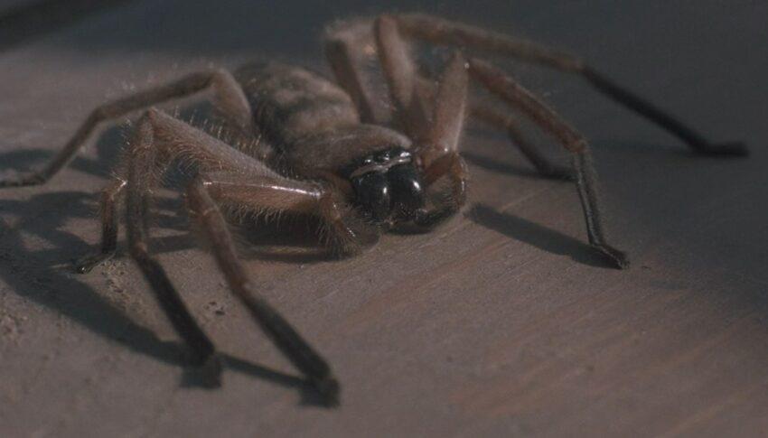пауки-гибриды